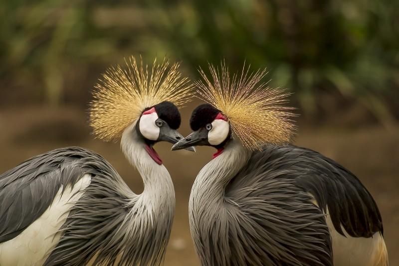 grey-crowned-crane-bird-crane-animal-animal-world[1]